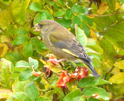 Greenfinch on Dog Rose