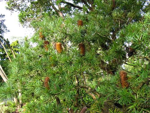 B. spinulosa