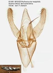 15.045  BF325 Phyllonorycter mespilella_M (Patrick Clement.) Tags: moth slide microscope genitalia