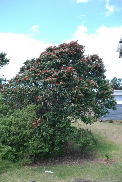 pohutukawa_tree_1