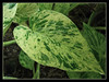 Epipremnum aureum 'Marble Queen' (Pothos, Devil's Ivy, Money Plant, Silver Vine, Centipede tongavine, Hunter's Robe, Taro Vine)