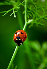 Ladybird (Fahad Al Nusf) Tags: red macro green me closeup digital bug nikon asia close gulf middleeast dot ku arab micro ladybird chalet kuwait dots fahad kw arabiangulf q8 essam bnaider d300 105mm kwt alnusif   shalaih nikon105mm  nikond300 fenyn fahadalnusf alnusf   nusef nusif alnusef fahadessamalnusf essamalnusf alnisef alnisf nisf nisef