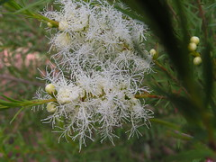 Melaleuca alternifolia (Tea Tree) - cultivated