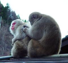 Snow Monkey Couple (JohnCramerPhotography) Tags: animal japan fauna google flickr nagano animalia mammalia facebook primates macaque japanesemacaque macaca chordata twitter macacafuscata cercopithecidae macaquejaponais korakukanryokan tumblr taxonomy:kingdom=animalia taxonomy:class=mammalia taxonomy:phylum=chordata taxonomy:order=primates taxonomy:genus=macaca taxonomy:species=fuscata taxonomy:family=cercopithecidae taxonomy:binomial=macacafuscata macacajaponesa pinterest taxonomy:common=japanesemacaque yakushimamacaque japanesesnowmonkies taxonomy:common=yakushimamacaque taxonomy:common=macaque taxonomy:common=macaquejaponais taxonomy:common=macacajaponesa