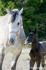 Still-Hof Rosegum  & Still-Hof Macabeu (terillo) Tags: horses horse nikon mare foal d300 tyynelä stillhofhorses stillhof