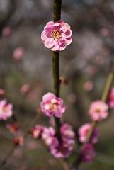 DSC_8458 (Alex Rowan) Tags: plants flower alex japan kyoto asia rowan plumblossom kitanotenmangu   alexrowanphotography northernkyoto