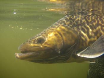 RIO fly lines - Tiger Lake fishing