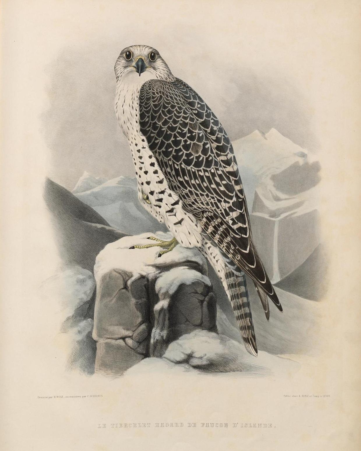 Le tiercelet Hagard de faucon d'Islande in 'Traité de Fauconnerie' by H Schlegel, 1853