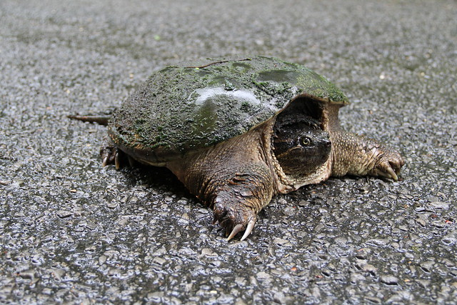 Zigzag the snapping turtle