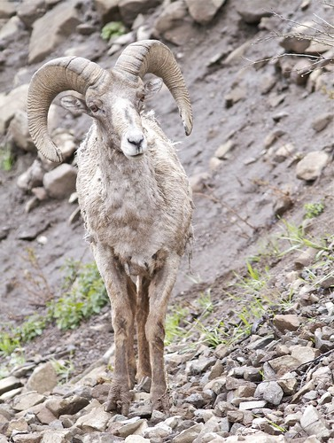 Big Horn Sheep Ram by Mark/MPEG (Midwest Photography Enthusiasts Group)