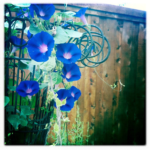 grandpa ott morning glory