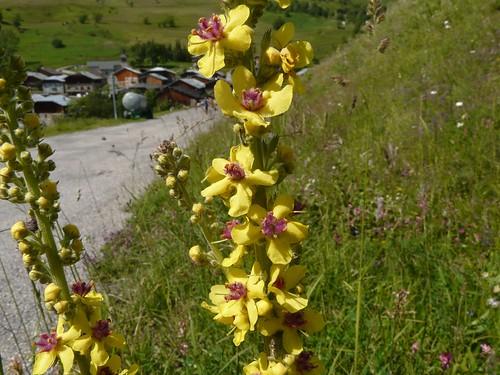 Molène noire=Verbascum nigrum - Grand Naves 064