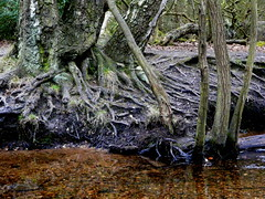Tree roots in the river (DRose69) Tags: tree clearwater suttonpark