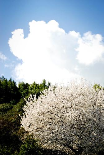 blossom 05