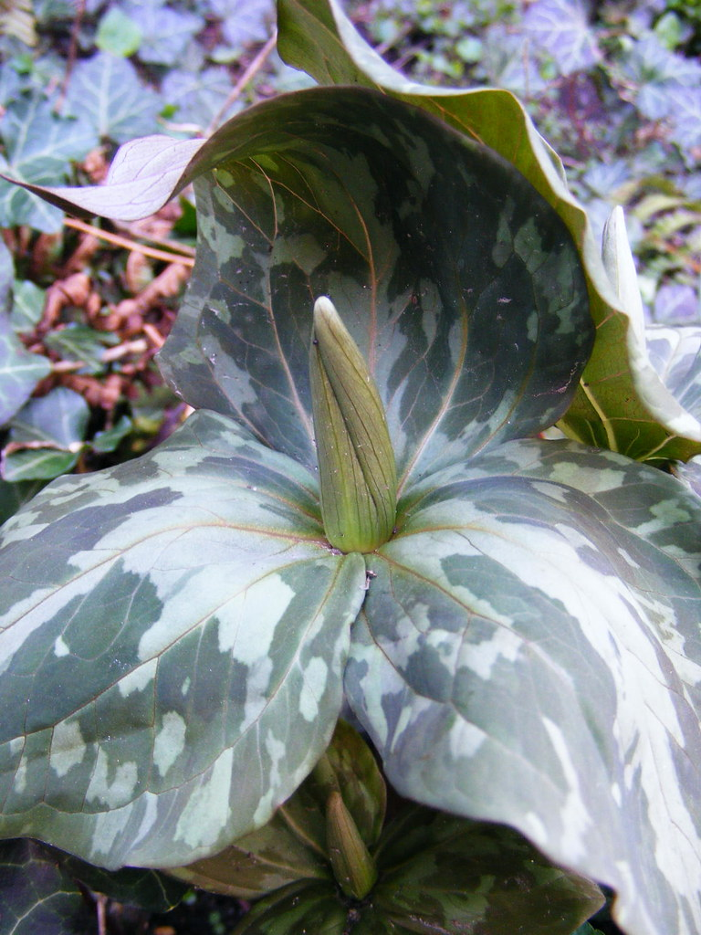 Urban Oasis Great Flowers Come In Threes Trillium