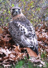 Camouflage Hawk (mimicapecod) Tags: nature birds hawks redtailedhawk takeabow naturesfinest blueribbonwinner mywinners abigfave anawesomeshot faithfulflickrfriends avianexcellence excellenceinavianphotography diamondclassphotographer flickrdiamond citrit theunforgettablepictures unforgettablepictures betterthangood everydayissunday theperfectphotographer goldstaraward rubyphotographer defendersnaturemacroandcloseup imagequalityiq birdsofthenortheast
