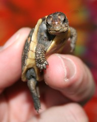 Box Turtle (Cindy シンデイー) Tags: