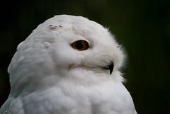 Ouwehands Dierenpark- Snow Owl (ikmattie) Tags: zoo ouwehandsdierenpark sonya100 ouwehandsrhenen