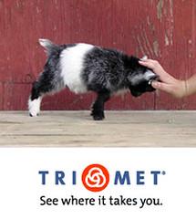 pygmy_goat-trimet