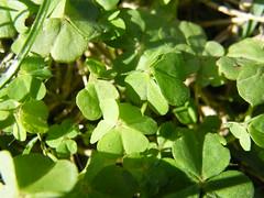 buena cuea (antes yo no era ahora soy) Tags: naturaleza verde green vida medioambiente trebol treboles buenacuea