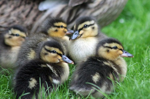 Ducklings by Victor Keech.