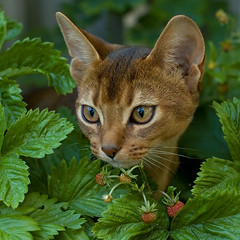 In Strawberry Fields 1 (peter_hasselbom) Tags: portrait cats face cat garden kitten kittens usual abyssinian wildstrawberry softlight ruddy rosaceae fragariavesca semperflorens 19weeksold cc100 middayshadow abigfave bestofcats boc0608 myboc