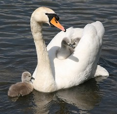 IMG_7607 (NDS Video) Tags: swans cygnets