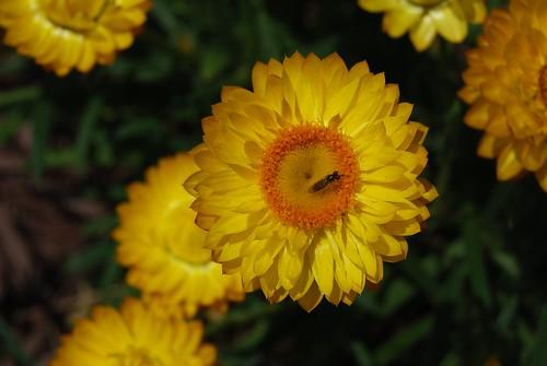 yellow flower DSC_8211