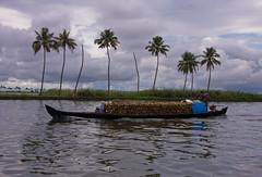 Anyone want some Coconuts? (Kris Kumar) Tags: trip lake boat coconut may houseboat kerala boating 2008 backwater southindia kumarakom vembanad vembanadlake canon40d keralatrip2008
