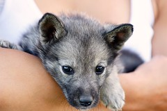 Xana16 (niclasmaanson) Tags: portrait woman dog white black animal puppy nose grey eyes arm sweden g sony nora tired rest hold orebro 7weeks rebro glens xana a700 iso640 sal70200g niclasmansson niclasmnsson