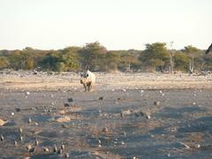 P1000786 (Simon Cast) Tags: africa rhino blackrhino etosha