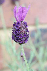 Lavender (davepatten) Tags: flower macro closeup purple levender