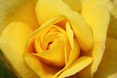 yellow rose (Al JC) Tags: flower rose yellow scotland flora bloom simplyflowers digitalcameraclub macrophotosnolimits