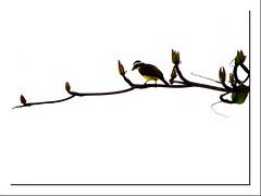 Bem-te-VI (Vi) Tags: folhas bemtevi beatles árvore espíritosanto guarapari galho passáro ♫♫ andyourbirdcansing giok 11082008 agosto2008