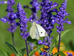 Weißer Schmetterling auf der Landesgartenschau (Josef Sauerland) Tags: plants flower butterfly garden blumen blau blume 2008 blüte garten auswahl landesgartenschau schmetterling rietberg weissling weisling