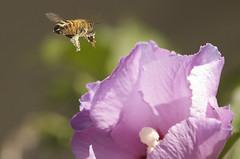 self service (matteotarenghi) Tags: pink nikond70 rosa bee selfservice tarenghi photofaceoffwinner buzznbugz pfogold