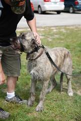 DSC_0654 (batwrangler) Tags: dogs englishmastiff mastiff wolfhound irishwolfhound otherpeoplesdogs wolfhoundmastiffmix