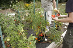 (robyncarliss) Tags: tomato tomatoes heirloomtomatoes heirloomtomato
