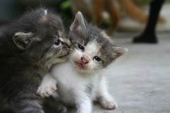 Nuzzle (artrckr) Tags: cats cute kittens nuzzle