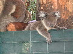 "164: Koala baby (archers30 - ""thanks for all the fish"") Tags: park wildlife australia perth koala caversham filmscan archers30"