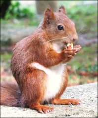 Squirrels love nuts not only as dessert! (Batikart ... handicapped ... sorry for no comments) Tags: park summer friedhof brown white macro nature cemetery animal closeup fauna canon germany geotagged deutschland nagetier squirrel europa europe stuttgart sommer wildlife nail natur meadow wiese f100 nut braun makro 2008 weiss tier eichhrnchen canonpowershot a610 nsse badenwrttemberg swabian nuss canonpowershota610 hoppenlaufriedhof hoppenlau fingernagel fingerngel sciurus 100faves specanimal viewonblack baumhrnchen freienatur batikart