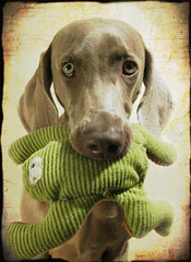 (saikiishiki) Tags: portrait dog chien cute texture love toy grey eyes sweet ghost gray hound posing hond frog perro hund weimaraner kawaii  perra inu omoshiroi weim mukha kaeru vorstehhund 20f thelittledoglaughed waimarana thanksmichelbanabila