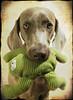 ♥ (saikiishiki) Tags: portrait dog chien cute texture love toy grey eyes sweet ghost gray hound posing hond frog perro hund weimaraner kawaii ♥ perra inu omoshiroi weim mukha kaeru vorstehhund 20f thelittledoglaughed waimarana thanksmichelbanabila