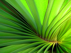 pandanus (*omnia*) Tags: green topf25 leaves lines spiral coffsharbour pandanus pc2450 auspctagged