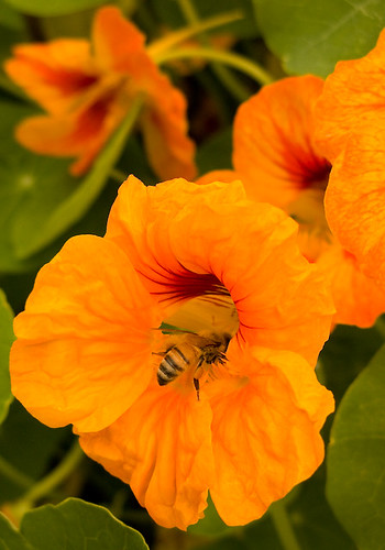 Fall Harvesting - a bee in nasturtium