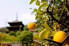 Pagoda (kamoda) Tags: autumn japan fruit temple pagoda bokeh hiroshima hedge 2008 onomichi  tenneiji