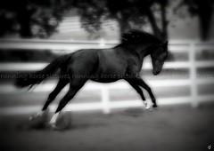 Sasha Runs (running horse pictures) Tags: picnik dragondaggerphoto