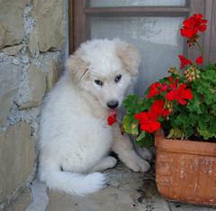 Brando (Monica Arellano-Ongpin) Tags: dog chien cane puppy perro hund brando cucciolo maremmano