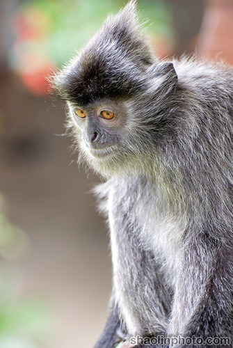 Portrait of a Silver Langur Monkey