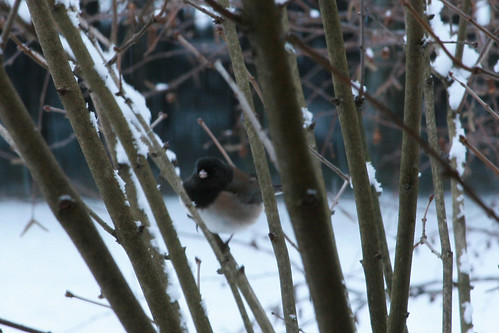 snow_junco